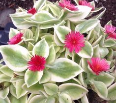 THIS SUCCULENT HAS BEAUTIFULLY VARIAGATED LIGHT GREEN AND CREAMY WHITE LEAVES THAT CAN GET QUITE PINK THE MORE SUN/LIGHT EXPOSURE IT GETS. MAGENTA-PINK FLOWERS. CAN CASCADE FOR A HANGING BASKET OR CONTAINER GARDEN. | eBay!