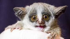 Bush Babies are primates found in East Africa, from the lush jungle valleys to the untamed savannahs Pugs, Slow Loris, Woodland Park Zoo, Super Cute Animals, Unique Animals, Adorable Animals, Baby Images, Lovely Creatures, Primates
