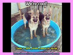 Helping Your German Shepherd Stay Cool in Summer #german_shepherd_dog #german_shepherd_news #german_shepherd_breed #german_shepherd_care #German_shepherd