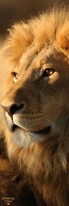 Apocalipsis 5:5 He aquí que el León de la tribu de Judá, la raíz de David, ha vencido para abrir el libro y desatar sus siete sellos. ♔