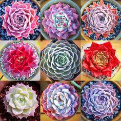 Sempervivum Cyclops Exotic Echeveria Succulent Seeds Cactus Stone Lithops New | Home & Garden, Yard, Garden & Outdoor Living, Plants, Seeds & Bulbs | eBay!