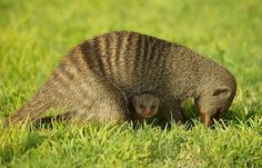 Mongoose mother..After a  six week pregnancy she will find a safe place to deliver,and the cubs stay with her mama for several weeks,she protects and take care of them proudly..