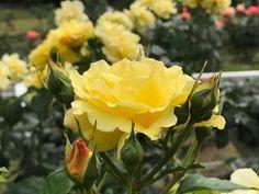 代々木公園で出逢った薔薇 このバラ��の名前を控えるのを忘れていました�� 香りが強いのか、このバラに蜂がたくさんいました。 #薔薇#薔薇の季節 #バラ#花#花写真 #花のある風景 #花好きな人と繋がりたい #季節の花 #黄色の花 #はなまっぷ薔薇2017 #写真好きな人と繋がりたい #iPhone #iphone越しの私の世界 #rose #rosegarden #flower #flowers #flowerstagram #flowerslovers #plants #plantsofinstagram #botanical #yoyogipark#tokyo #japan http://gelinshop.com/ipost/1522890646023732759/?code=BUiZPlUAn4X