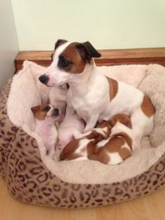 Jack Russell Terriers are so intelligent that they sometimes even outwit their humans. Rat Terriers, Terrier Puppies, Bull Terrier Dog, Terrier Mix, Perros Jack Russell, Jack Russell Puppies, Jack Russell Terriers, Jack Russell Mix, Cute Puppies