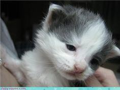 I think they should engineer cats to remain kittens.  They're so freakin' cute!