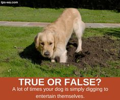 It's no secret that dogs love to dig holes. But how do we get them to stop digging? Learn how from our blog. http://ow.ly/UGrJ30fSluy #tailoredpetservices #petsitting #doglife #bestwoof #lovedogs #dogwalking #lovepets #doglovers #dogsitters #dogwalk #washingtondogs #happydog #spoiledpets #happydogsclub #dogstagram #petstagram #instapet #instapup #instawoof #instadog #activedogsofinstagram #dogsofig #dogsofinstagram #petstagram #pupstagram