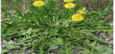 Herbalists usually use dandelion root in the treatment of gallbladder, digestive, kidney, and liver issues. Herbal Remedies, Natural Remedies, Taraxacum Officinale, Weed Types, Types Of Cancers, Cancer Cure, Cancer Cells, Alternative Health, Medicinal Plants