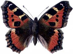 Natural History Butterfly Image - The Graphics Fairy
