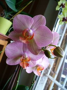 Így gyógyíthatod meg a beteg lepkeorchideát | Balkonada Garden Plants, Orchids, Flowers, Photography, Gardening, Photograph, Fotografie, Lawn And Garden, Photoshoot