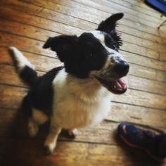 DOG OF THE DAY: 16 week old border collie Mia #dog #dogsofinstagram #puppy #puppylove #coffee #specialitycoffee #espresso #cafe #cafelife #barista #stockbridgeedinburgh #edinburgh #stockbridge