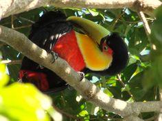 Tucano-de-bico-verde --{ Birds }--