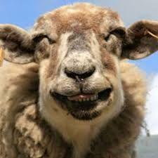 Lachend schaap