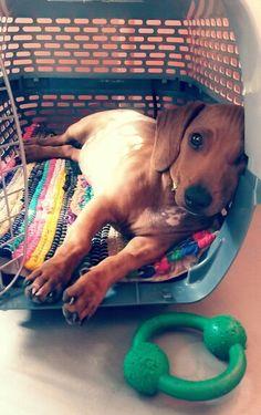 Dachshund puppy, so cute!