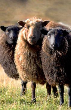 Brown Icelandic Sheep