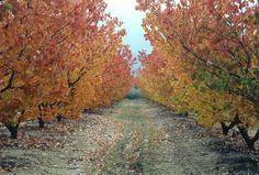 Autumn orchards. Pick Your Own Apples, Golden Leaves, Orchards, Golden Oak, Sunshine Coast, Granite, Country Roads, Autumn, Belt