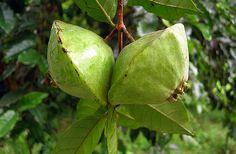 Abbevillea | CAMBUCI um fruto bastante ácido que produz uma grande variedade de ...
