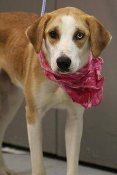 ADOPTED>NAME: Velcro  ANIMAL ID: 34724573  BREED: Retriever  SEX: female(spayed)  EST. AGE: 2 yr  Est Weight: 37 lbs  Health: Heartworm neg  Temperament: dog friendly, people friendly  ADDITIONAL INFO: thin  RESCUE PULL FEE: $35 Intake date: 2/24  Available: Now