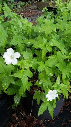 Geranium nodosum Silverwood