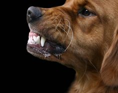 Help, My Dog Bites! How to Deal with Dogs Who Bite   Animal Behavior and Medicine Blog   Dr. Sophia Yin, DVM, MS