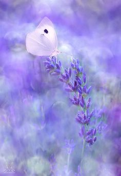 ✿ᒪᗩVᕮᑎᗪᕮᖇ ᗰᕮᗩᗪƠᗯ✿ Dreamtime by Jasna Matz Purple lavender with delicate white, pink butterfly. Amazing nature photography!