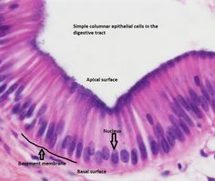 Simple Columnar epi: similar to cuboidal except that cells are taller and the… Plasma Membrane, Cell Membrane, Stratified Squamous Epithelium, Histology Slides, Skin Anatomy, Medicine Notes, Tools For Teaching, Studio, Tejidos