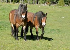 North Swedish Horses