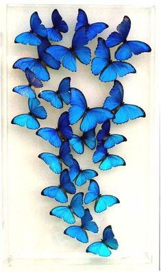 Top 14 Most Beautiful Butterflies in the World [Amazing Colors & Shapes] : Butterflies are one of a lot of varied as well as attractive insects worldwide. The huge team of butterflies consist of greater than 250000 flavors. tag: most beautiful butterflies Beautiful Butterfly Images, Butterfly Photos, Butterfly Kisses, Butterfly Art, Blue Butterfly Wallpaper, Butterfly Tattoos, Blue Morpho, Morpho Bleu, Art Papillon