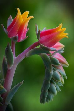 Echeveria Flowers - Lovely !