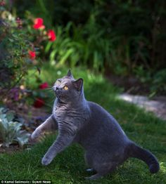 Within seconds her hunting instincts had kicked in and Misha launched herself off her back paws to try to catch the butterfly. Kemal Selimovic.