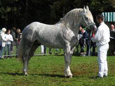 Timide de l'Ecurie, Boulonnais horse