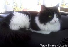 CORTAZZONE (ASTI): SMARRITO BATU, GATTO BIANCO E NERO http://www.terzobinarionetwork.com/2015/11/cortazzone-asti-smarrito-batu-gatto.html