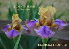 "GET AGAIN - LOST **BERMUDA TRIANGLE (A. & D. Cadd, 2000) Iris border bearded, 27"" (69 cm), M S. and style arms old gold, midribs touched lavender; F. old gold, triangular fluorescent lavender purple wash from beard to edge, darkest at top; beards bronze, small fuzzy lavender horn; slight sweet fragrance.  for D house"