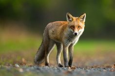 Photograph Red Fox by Milan Zygmunt on 500px