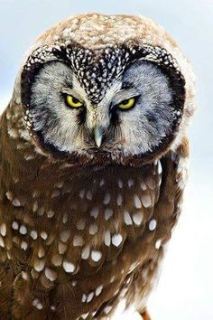 Intensity ~ Boreal Owl by Carrie Groseclose. Owl is not amused. Beautiful Owl, Animals Beautiful, Stunningly Beautiful, Owl Bird, Pet Birds, Owl Pictures, Owl Always Love You, Wise Owl, Tier Fotos