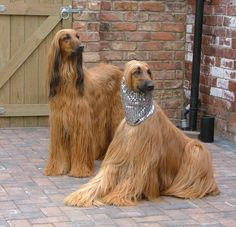 Gorgeous Afghan Hounds