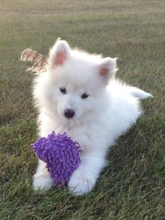 Adorable Samoyed puppy. <3