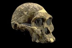Australopithecus Africanus: Pliocene rocker, sib to Robustus. AKA African Darter, after anatomist who discovered. Not as good at crosswords as his big brother, but a fave at parties.