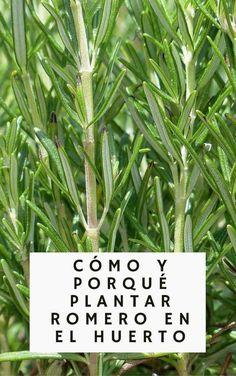 Cómo y porqué plantar romero en el huerto #Huertaencajones