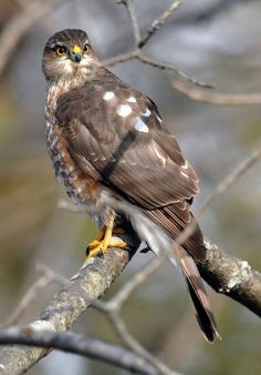 Sharp-shinned Hawk, smallest to reside in US & Canada