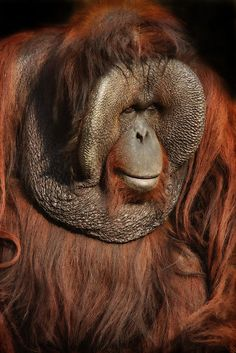 """""""King Louis,"""" portrait of a huge male orangutan. (by Bobby McLeod) Animals And Pets, Funny Animals, Cute Animals, Beautiful Creatures, Animals Beautiful, Los Primates, Types Of Monkeys, Unusual Animals, Tier Fotos"""