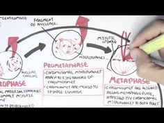▶ Cell Cycle (Mitosis) - YouTube