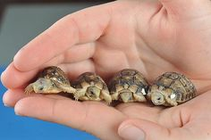 Some of the world's smallest and rarest tortoises!  These are the first egyptian tortoises to born in 5 years.  The egyptian tortoise is one of the smallest, with adults only 6 inches long.