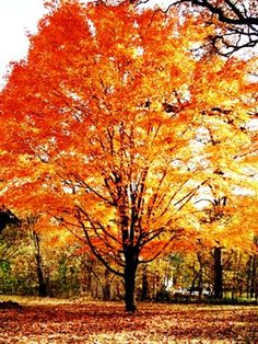 The most beautiful trees in the fall, sugar maples  <3