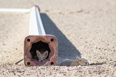 Photograph Two Kit Fox pups (Vulpes macrotis) rest at a construction site in Nevada by Zachary Cava