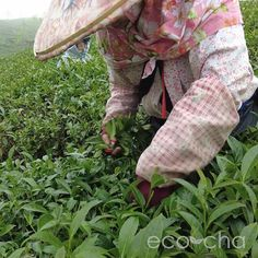 We visited our source of Shan Lin Xi High Mountain Oolong Tea in the high mountain tea region of Taiwan and filmed the ongoing tea harvest. Daily Weather, Tea Club, Natural Farming, First Day Of Spring, Oolong Tea, Brewing Tea, Taiwan, Harvest, Mountain