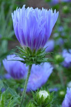 stokesia laekis from Gamble Garden