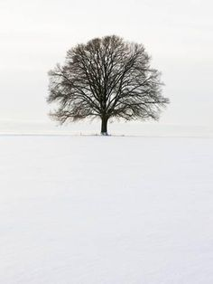 Photographic Print: Old oak tree on a field in winter Poster by Frank Lukasseck : 24x18in