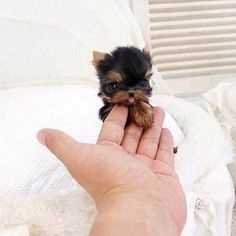 26 Teeny Tiny Puppies Guaranteed To Make You Say Awww! Question: Who loves tiny puppies? Correction: Everyone! Everyone loves tiny puppies! Baby Animals Pictures, Cute Animal Pictures, Animals And Pets, Farm Animals, Animals Planet, Fluffy Animals, Puppy Pictures, Funny Dog Pictures, Wild Animals