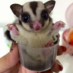 Animals Discover Take 1 serving of sugar glider every 6 hours Sugar Glider Care Sugar Gliders Cute Funny Animals Cute Baby Animals Beautiful Cats Animals Beautiful Cutest Animals On Earth Sugar Bears Flying Squirrel Sugar Glider Care, Sugar Gliders, Cute Funny Animals, Cute Baby Animals, Beautiful Cats, Animals Beautiful, Cutest Animals On Earth, Les Reptiles, Sugar Bears