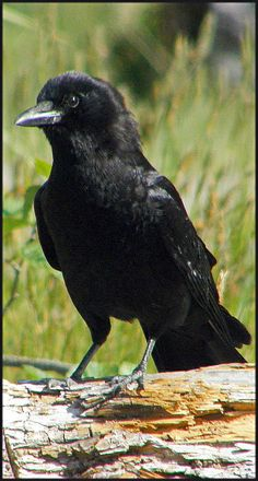 Northwestern Crow (Corvus caurinus) is native to NW N.A. It is very similar to the more western forms of the widespread American Crow (Corvus brachyrhynchos), but it averages slightly smaller (33–41cm long) with proportionately smaller feet & a slightly more slender bill.  It is an intelligent & pesky corvid who can be very cavalier & creative in obtaining its food here on Vancouver Island, BC